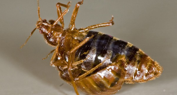 To deal with sexual conflict, female bedbugs get flexible